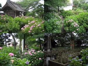 熊谷市(旧妻沼町)永井太田「能護寺」のあじさい