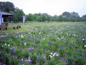 熊谷市西別府「別府沼公園」の花菖蒲園