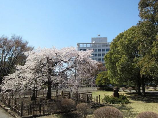 熊谷市役所前「BACK PACKER'S LUNCH」のレッドカレー弁当と熊谷中央公園の桜