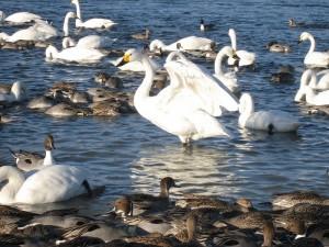 深谷:荒川の白鳥飛来地