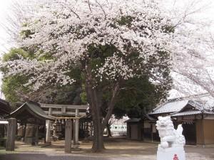 桜が咲きました「籠原駅南口」