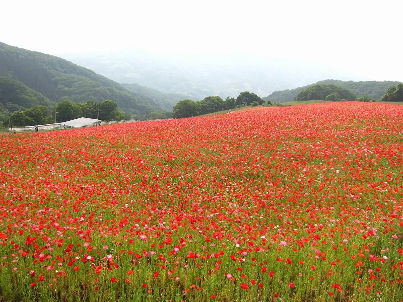 1000万本のポピーが咲き誇る「天空を彩るポピーまつり」開催中