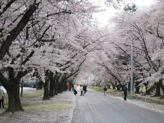 KBsakura2015_04