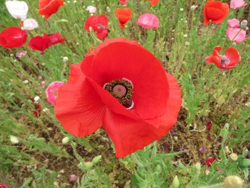 秩父郡東秩父村「1500万本のポピーが咲き誇る 天空を彩るポピー」2015年